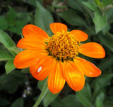 Tithonia rotundifolia | Mexican Sunflower | 100_Seeds