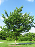 Celtis occidentalis | Hackberry | Nettletree | Sugarberry | 10_Seeds