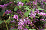 Hardenbergia violacea Rosea | Happy Wanderer | Pink Climbing Pea Vine | 20_Seeds