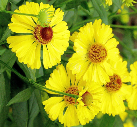 Helenium autumnale | Helens Flower | Common Sneezeweed | 100_Seeds