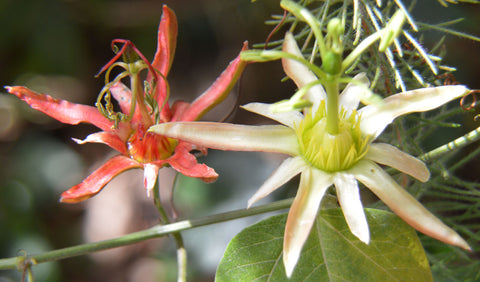 Passiflora herbertiana | 10_Seeds