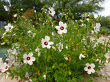 Hibiscus laevis | Halberd Leaf Rose Mallow | 10_Seeds