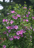 Hibiscus syriacus Violet Satin | Rose of Sharon | 10_seeds