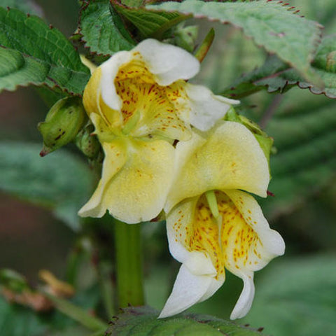 Impatiens scabrida | Jewelweed | 10_Seeds