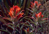 Castilleja coccinea | Scarlet Indian Paintbrush | Prairie Fire | 100_Seeds
