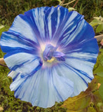 Ipomoea Nil Blue Dragon | Seiryu | Japanese Morning Glory | 5_Seeds