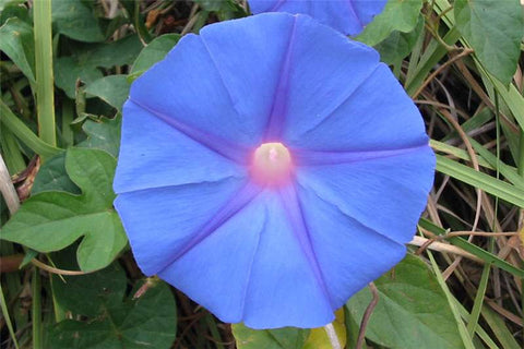Ipomoea indica | Morning Glory | Blue Dawnflower | Oceanblue  | 20_Seeds