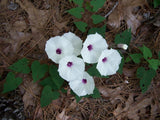 Ipomoea pandurata | Wild Potato Vine |  Man of the Earth | 5_Seeds