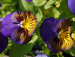 Viola x wittrockiana | Pansy Karma Blue Butterfly | Hearts Ease | 10_Seeds