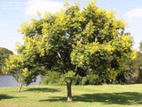 Koelreuteria paniculata |  Golden Raintree | 10_Seeds
