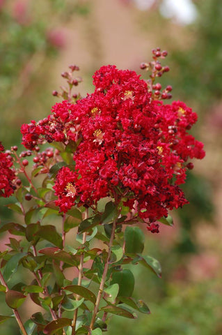 Lagerstroemia indica Red Rooster | Crape Myrtle | 50_ Seeds