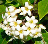 Pittosporum eugenioides | Lemonwood Tree | Tarata | 20_Seeds