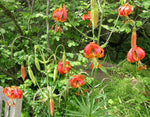 Lilium pardalinum | Leopard Lily | Panther-lily | 5_Seeds