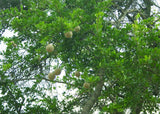 Limonia acidissima | Elephant Apple | Monkey Fruit | 10_Seeds