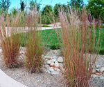Schizachyrium scoparium | Little Bluestem | Bunchgrass | 1000_Seeds