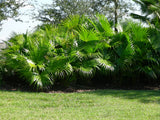 Livistona chinensis | Chinese Fan Palm | 10_Seeds