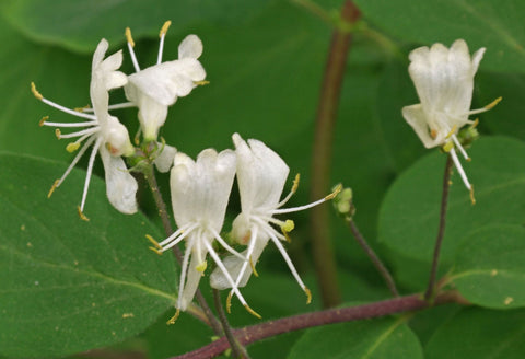 Lonicera xylosteum | European Fly Honeysuckle | 100_Seeds