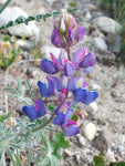 Lupinus sparsiflorus | Coulters Mojave lupine | 10_Seeds