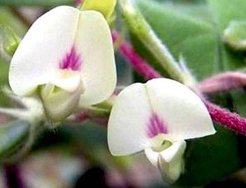 Macrotyloma uniflorum | Horse & Madras Gram | 10_Seeds