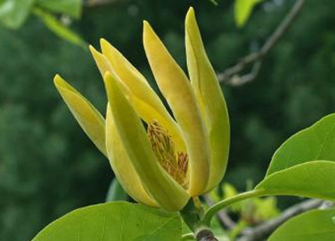 Magnolia acuminata | Cucumber Tree | 10_Seeds