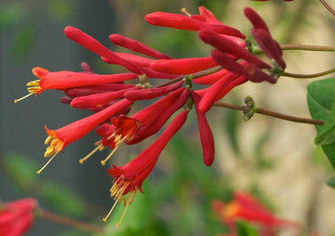 Lonicera sempervirens Major Wheeler | Coral Honeysuckle | 10_Seeds