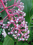 Medinilla speciosa | Showy Asian Grapes | 20_Seeds