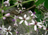 Melia azedarach | Bead Tree | Chinaberry | Cape Indian Persian Lilac | 5_Seeds