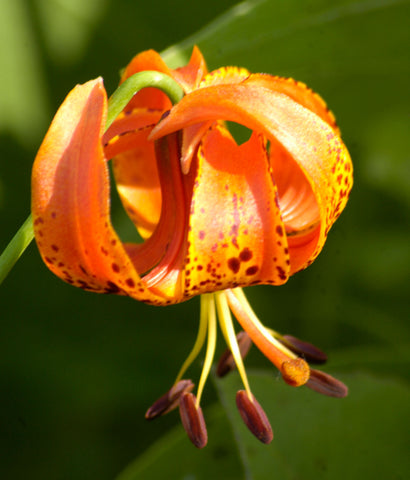 Lilium michiganense | Michigan Lily | 10_Seeds