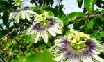 Passiflora edulis hybrid Mikes Choice | Passion Flower Vine | 20_Seeds