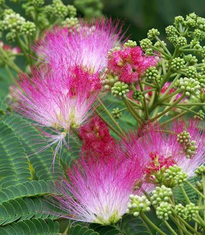 Albizia julibrissin | Mimosa Tree | 5_Seeds
