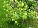 Mirabilis jalapa | Four OClock | Marvel of Peru | 10_Seeds