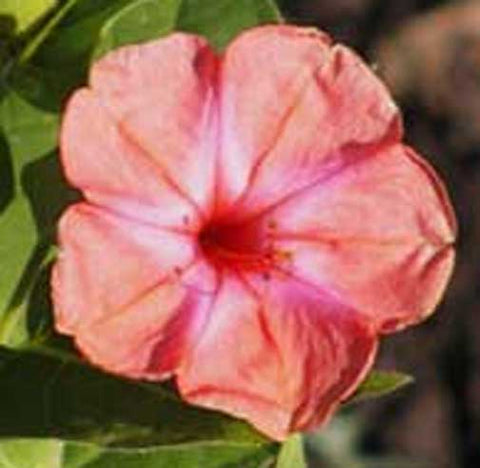 Mirabilis jalapa Salmon Sunset | Four OClock | Marvel Peru | 5_Seed
