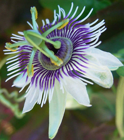 Passiflora morifolia | Woodland Passion Flower | Blue Sweet Calabash | 20_Seeds