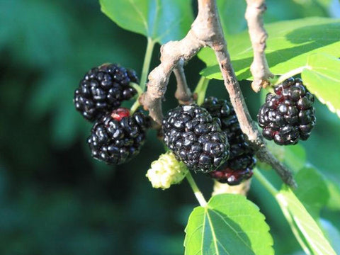 Morus nigra | Black Mulberry | Toot Tree | 20_seeds