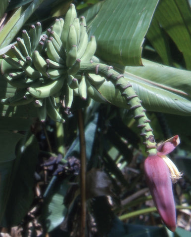 Musa thomsonii | 20_Seeds