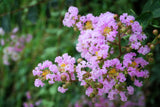 Lagerstroemia fauriei |  Crape Myrtle Muskogee| 50_Seeds