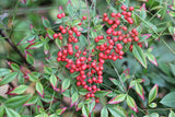 Nandina domestica | Sacred Heavenly Bamboo | 20_Seeds