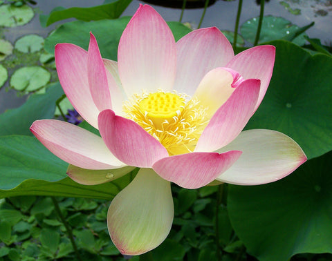 Nelumbo nucifera | Sacred Water Lotus | 5_Seeds