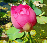 Nelumbo nucifera Red | 10_Seeds