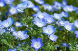 Nemophila menziesii | Baby Blue Eyes | 100_Seeds