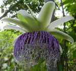 Passiflora nitida | Wild Granadilla | Bell Apple | 10_Seeds