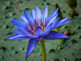 Nymphaea caerulea | Blue Egyptian Lotus | Sacred Water Lily | 10_Seeds