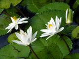 Nymphaea pubescens White | Hairy Water Lily | 100_Seeds