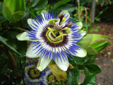 Passiflora caerulea | Blue Hardy Passion Flower | 10_Seeds