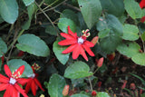 Passiflora coccinea | Red passion flower | 5_Seeds