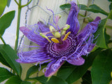 Passiflora incarnata | Apricot Vine | Maypop Purple | 10_Seeds