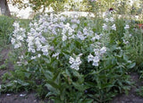 Penstemon cobaea | Showy Beardtongue | 100_Seeds