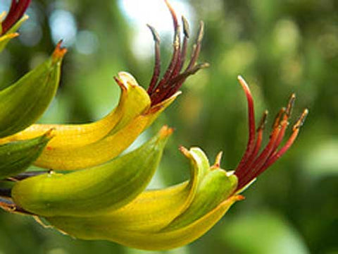 Phormium colensoi | New Zealand mountain flax | wharariki | 20_Seeds