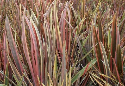Phormium Rainbow Stripe | 20_Seeds