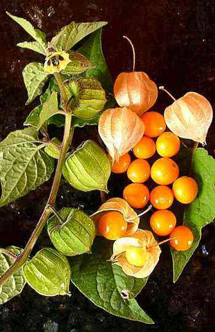 Physalis peruviana | Cape Gooseberry |Peruvian Ground Cherry|PohaBerry| 50_Seeds